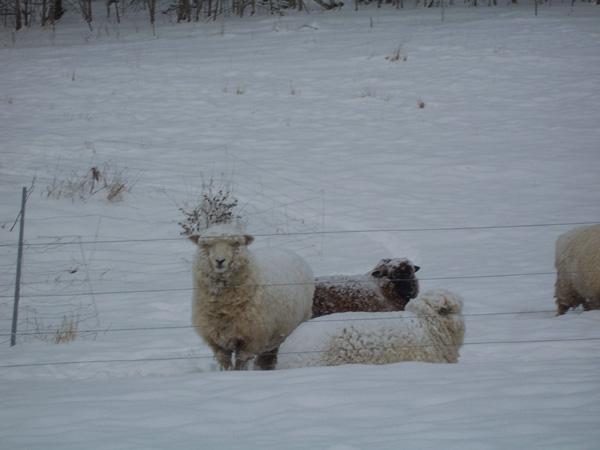 ina the sheep