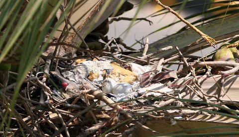 Kites nest update three