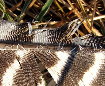 hoarfrost on wild turkey feather