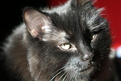 Evil Cat - Veruca Version