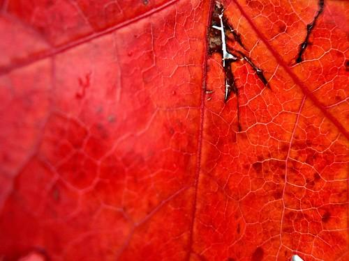 Red skin / Piel roja