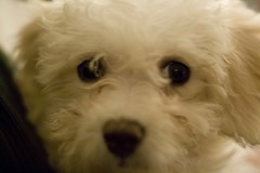 Olivia the Bichon puppy