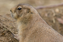 """IMG_3543: Prairie Dog • <a style=""""font-size:0.8em;"""" href=""""http://www.flickr.com/photos/54494252@N00/360063167/"""" target=""""_blank"""">View on Flickr</a>"""