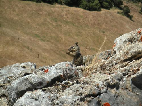 Young Ground Squirrel on Fremont Peak