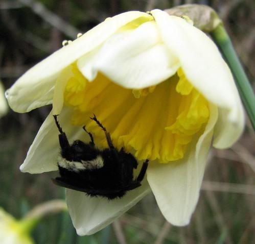 Daffodil After Rain 2