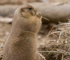 """IMG_3539: Prairie Dog • <a style=""""font-size:0.8em;"""" href=""""http://www.flickr.com/photos/54494252@N00/360062240/"""" target=""""_blank"""">View on Flickr</a>"""