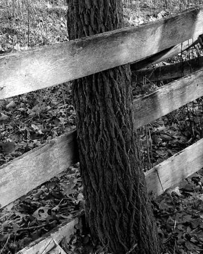 black walnut fence