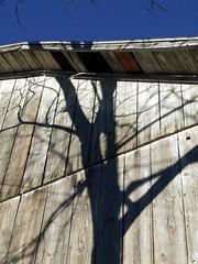 A black walnut tree shadow on the side of the barn
