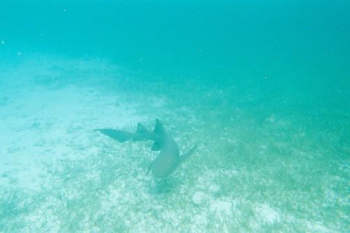 Nurse shark - Belize