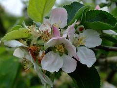 apple blossum DSCF7557