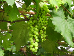 Kebun Anggur