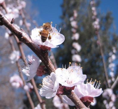 Cherry Blossom Pollinator 1