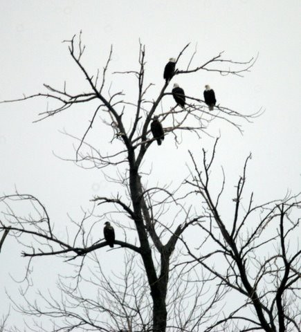 Bald Eagles 6, 7