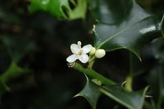 Ilex aquifolium (Aquifoliaceae)