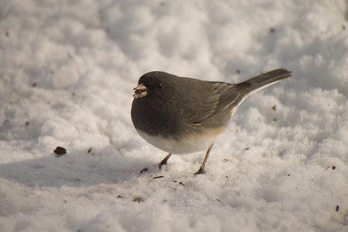 Dark-eyed Junco with seed