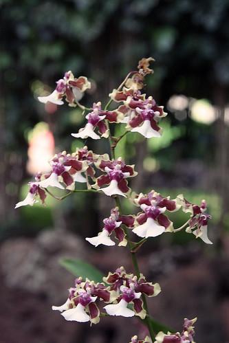 Orchidee auf Kauai, Hawaii
