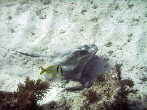 Sting Ray on Molasses Reef
