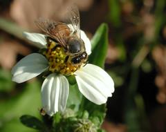 Honey Bee in Sunlight