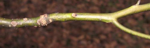 Sassafras Twig