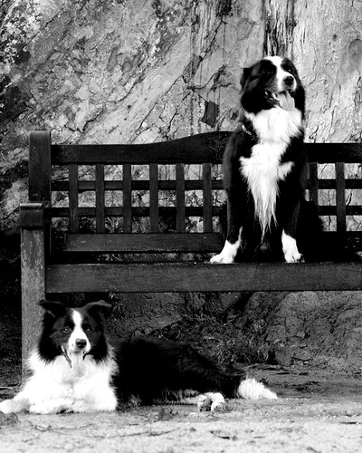 Two black and white dogs in black and white