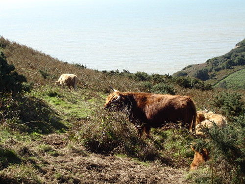 Highland Cattle grazing within Warren Glen