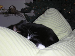 I'm dreaming of a sweet tuxie boy...