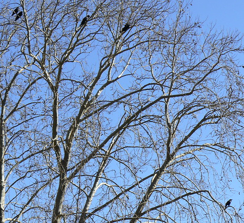 Ravens in the trees