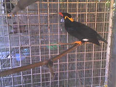 Tagalog Talking Bird