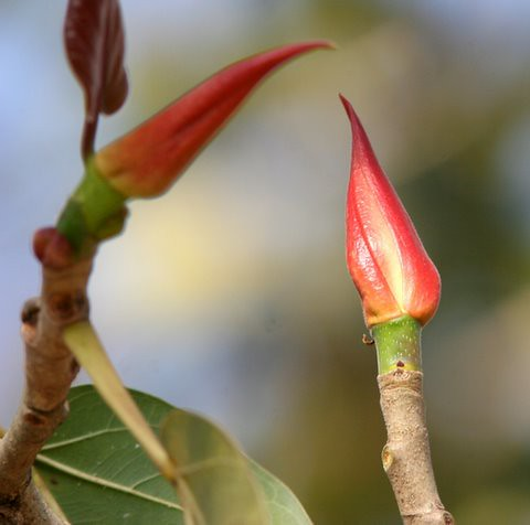Tender shoots of the Ficus Bengalensis