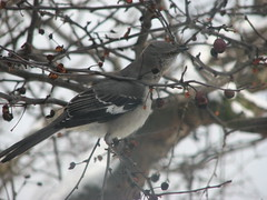 mockingbird streching neck