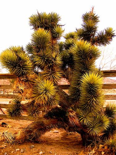 Giant Joshua Tree in Calico Basin