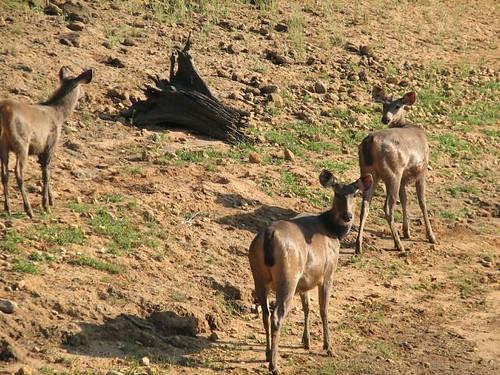 Sambar_Deer_Thekkady