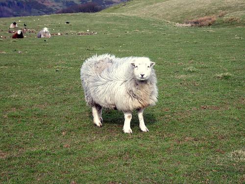The Obligatory Sheep Photo