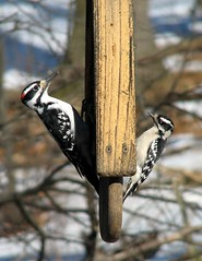 Hairy versus Downy Woodpecker