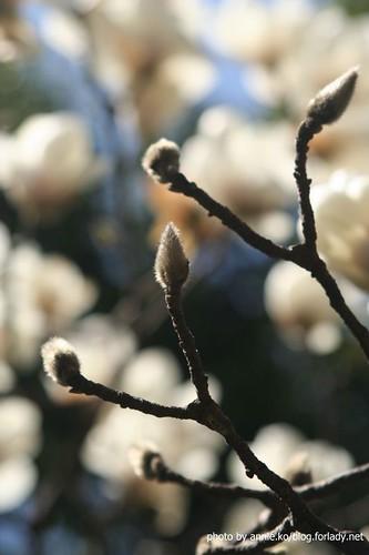 白玉蘭的花苞
