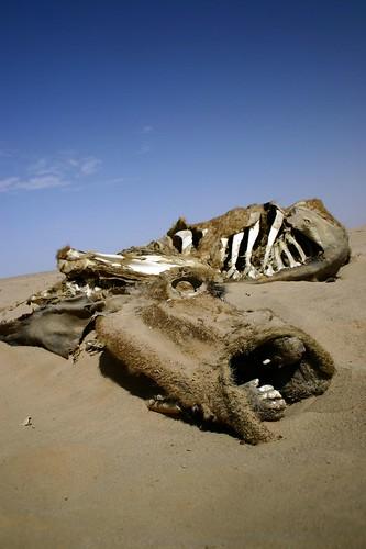 dead camel near Shabwa 17-6-05