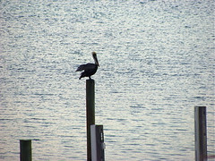 "MVC00034: Pelican • <a style=""font-size:0.8em;"" href=""http://www.flickr.com/photos/54494252@N00/22059103/"" target=""_blank"">View on Flickr</a>"