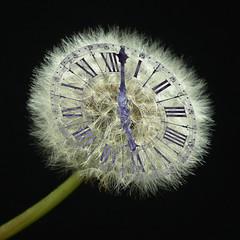 Dandelion clock by dictybloke