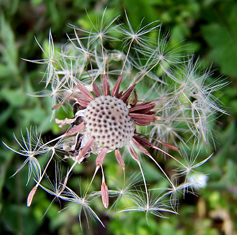 Dande-Seeds