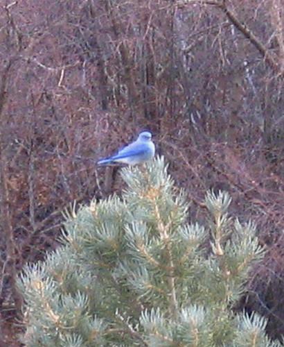 Mt Bluebird cropped
