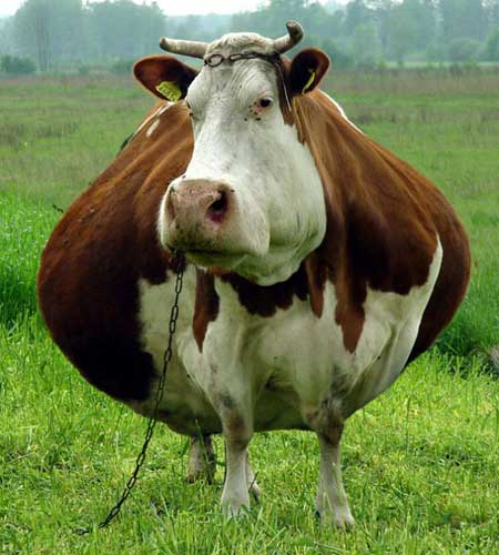 fat_cow