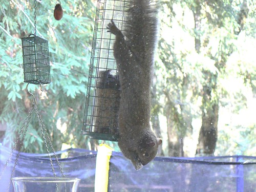 Squirrel-Proof Feeder?  NOT!