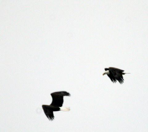 Bald Eagles, outlines