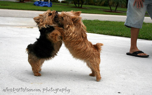 Two Norwich Terriers. Norfolk vs. Norwich Terrier