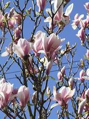 Magnolia Before the Frost