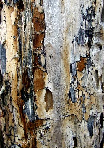red maple deadwood