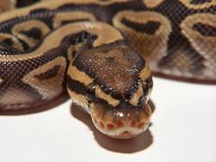 Ghost Ball Python