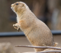 """IMG_3541: Prairie Dog • <a style=""""font-size:0.8em;"""" href=""""http://www.flickr.com/photos/54494252@N00/360062617/"""" target=""""_blank"""">View on Flickr</a>"""