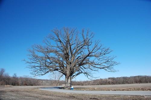 World's Largest Burr Oak Tree