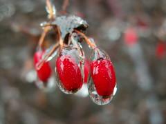 Ice Storm: Pair of Berries